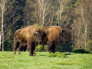 Bizoní farma Smrhov -